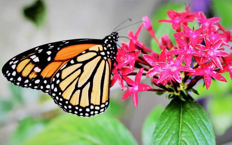 Mariposas monarca se multiplican en el extinto volcán Nevado de Toluca