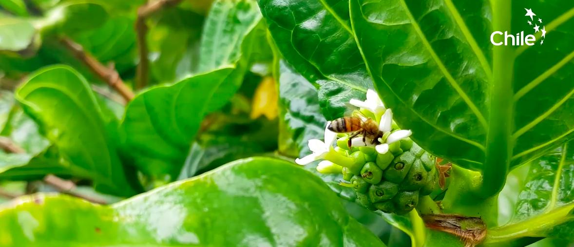 Chile y Nueva Zelanda estrechan lazos gracias a la miel de Rapa Nui