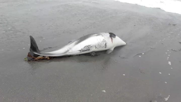 """Girardi presenta denuncia por delfines muertos en Mejillones y apunta a posible """"consumo humano"""""""