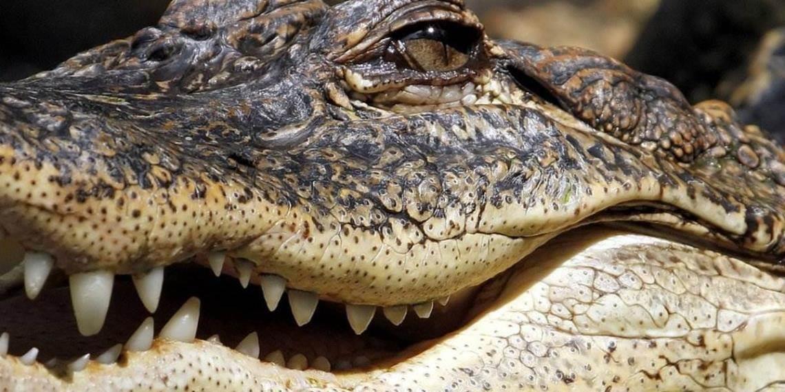 ¡Sorprendente! Descubren caimán gigante de más de 300 kilos en EE.UU.