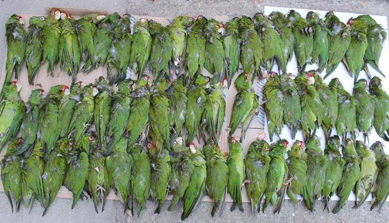 La venta ilegal de aves sudamericanas, un negocio lucrativo a escala mundial