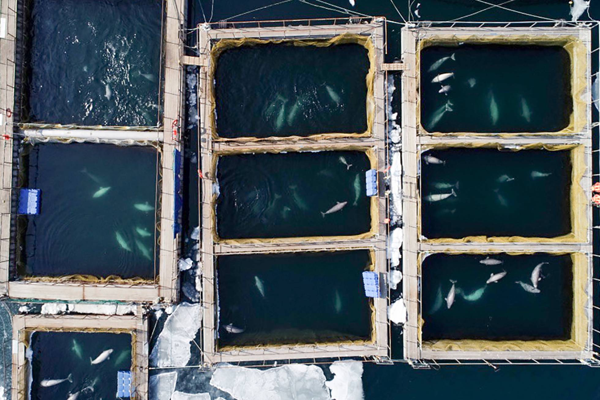 Once orcas y 87 ballenas permanecen hacinadas en el mar de Ojotsk