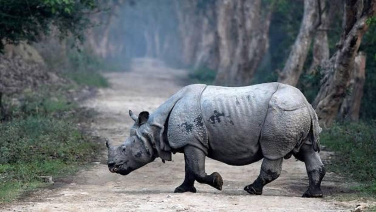 En India los guardaparques defienden a muerte a los rinocerontes