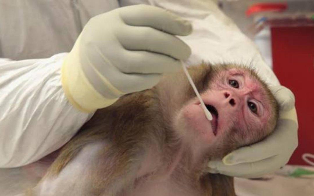 Algunos primates de América son portadores y transmisores del Zika