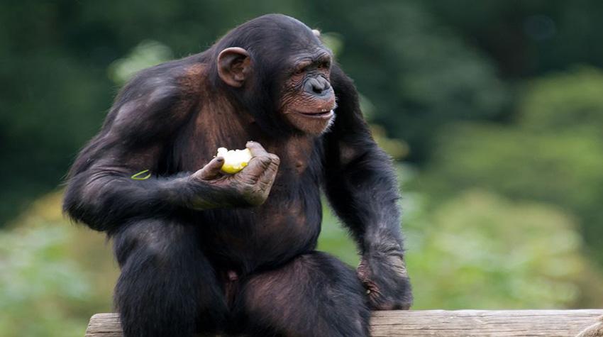 Los chimpancés sufren de estrés cuando compiten por una hembra