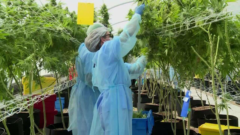 (Video) Uruguay alista la primera exportación de marihuana medicinal