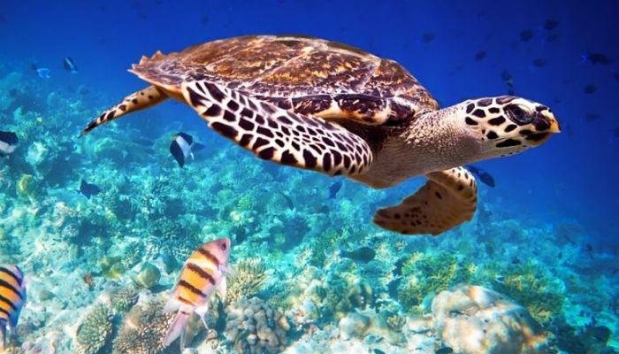 (Video) «Iniciativa Carey», una campaña para salvar tortugas marinas