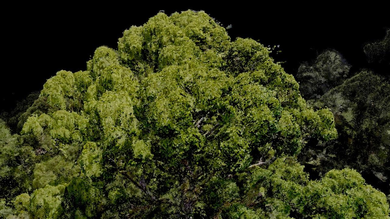 El árbol tropical más alto del planeta está en las selvas de Borneo