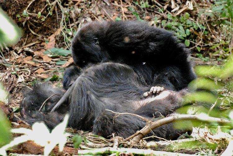 Los gorilas viven el duelo preparando y despidiendo a sus muertos