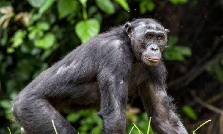 Primates: Descubren que las madres bonobo presionan para que sus hijos encuentren pareja sexual
