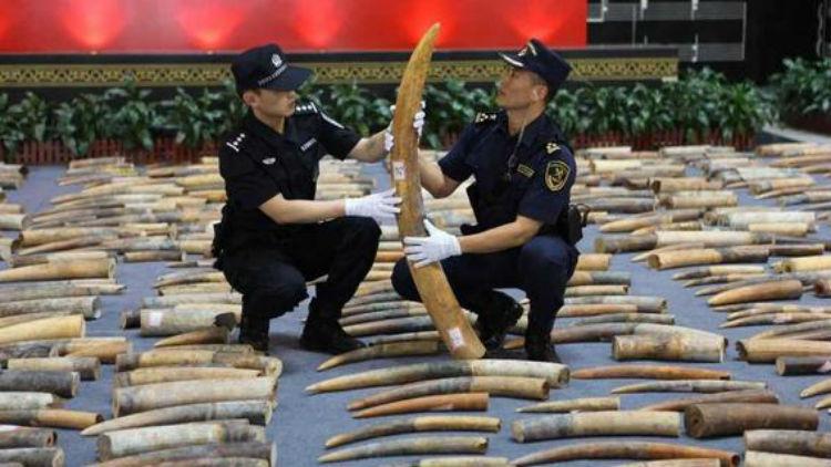 Mano dura al contrabando: autoridades portuarias de China incautan 350 kilos de marfil