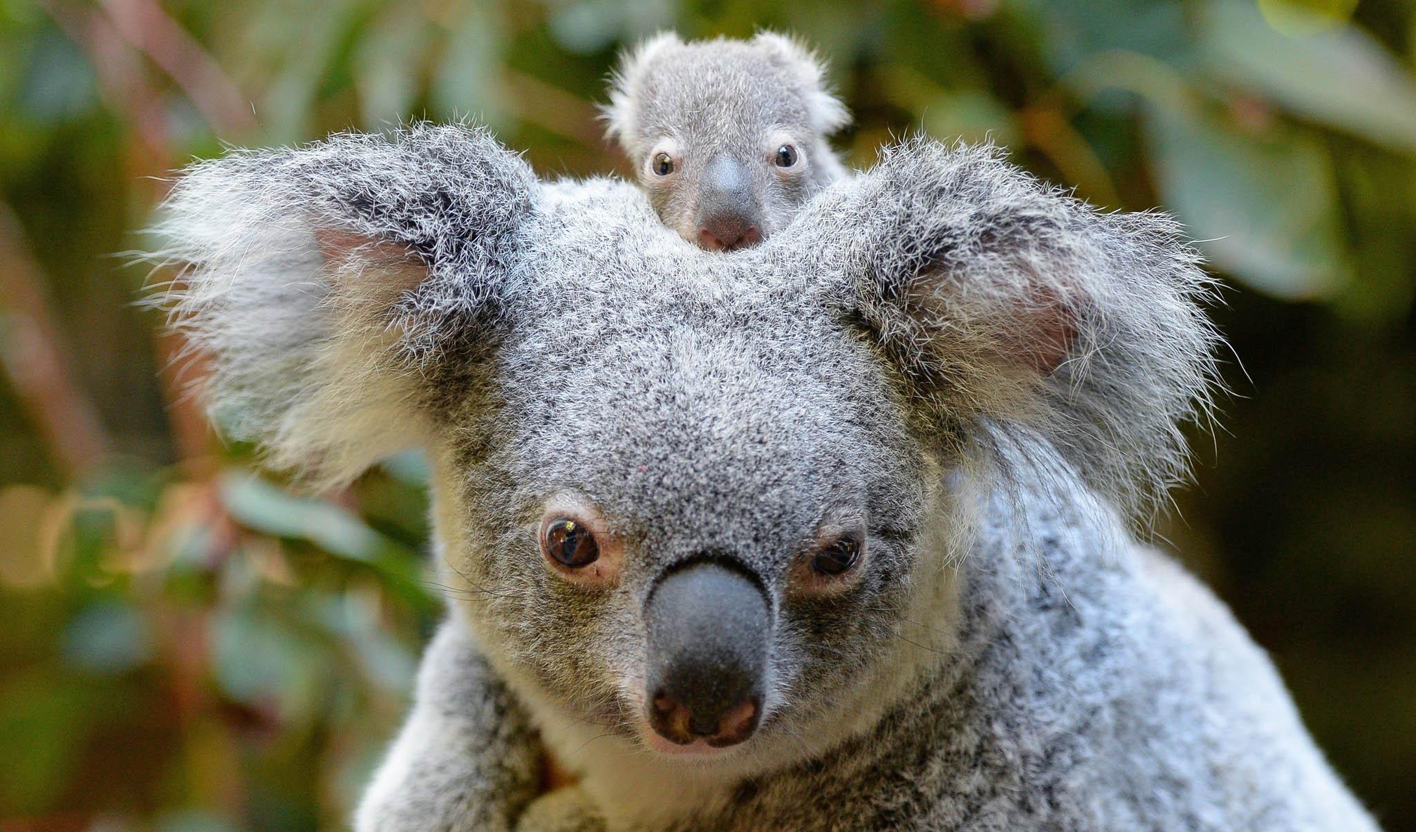 Los koalas no están extintos, pero sí a un paso de estarlo
