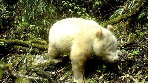 Toman imagen única de un panda albino en una reserva