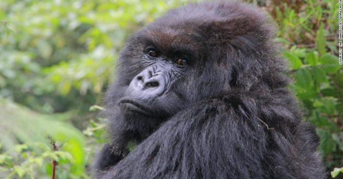"""La última gorila de la película """"Gorilas en la niebla"""" murió"""