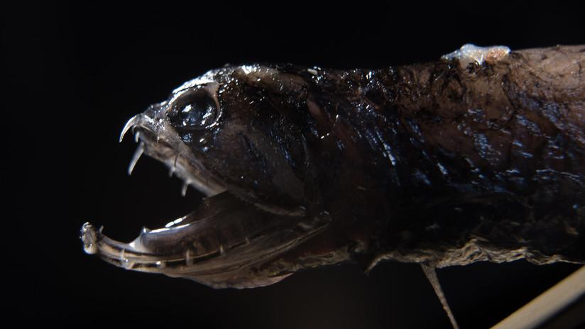 (Fotos) Descubren por qué los peces demonio tienen los dientes transparentes