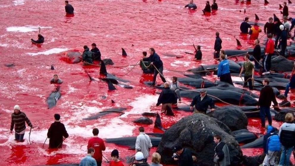 Brutal tradición: Masacran a 250 ballenas y delfines en las Islas Feroe
