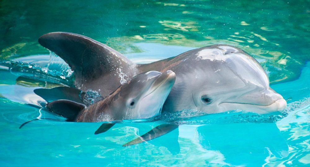 Los delfines no pueden lidiar con la muerte: madre hace lo posible por mantener a su cría a flote