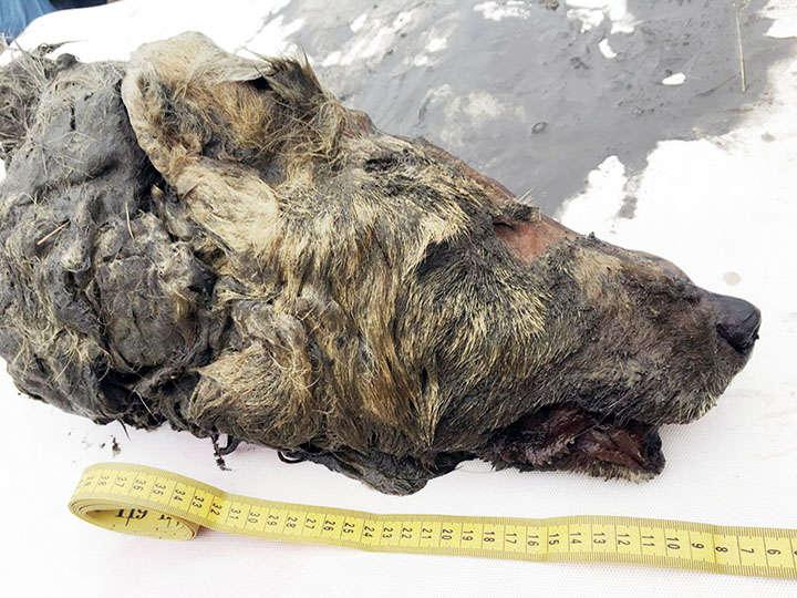 Descubren una enorme cabeza de lobo de 40.000 años en Siberia