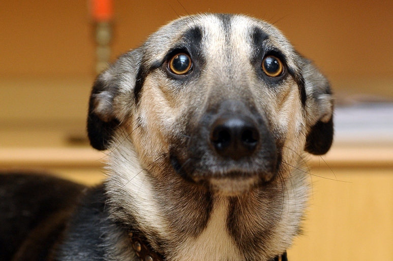 Experto no descarta que los perros puedan identificar a los portadores de coronavirus
