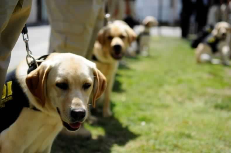 Científicos prueban si los perros son capaces de detectar el coronavirus