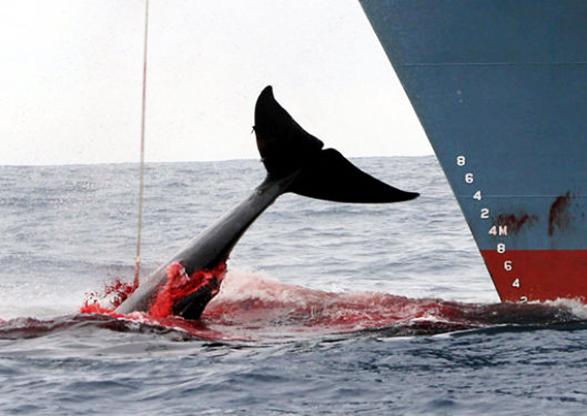 Japón reinicia caza comercial de ballenas: Ignora críticas de ambientalistas y de otros países