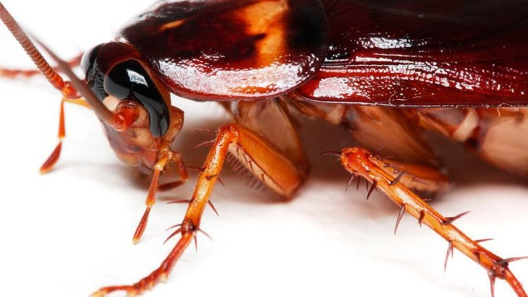 Las cucarachas han evolucionado para ser resistentes a toda clase de insecticidas