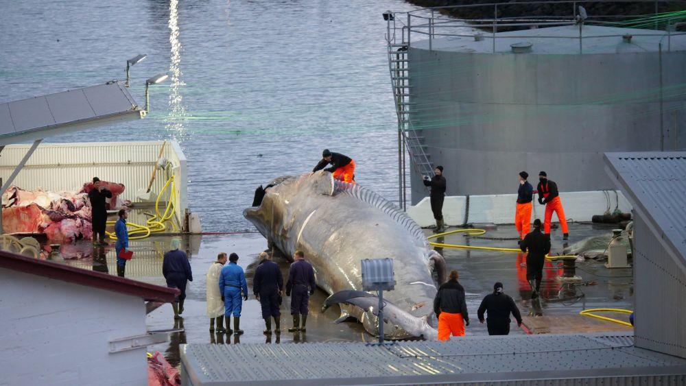 Por primera vez en 17 años Islandia no cazará ballenas