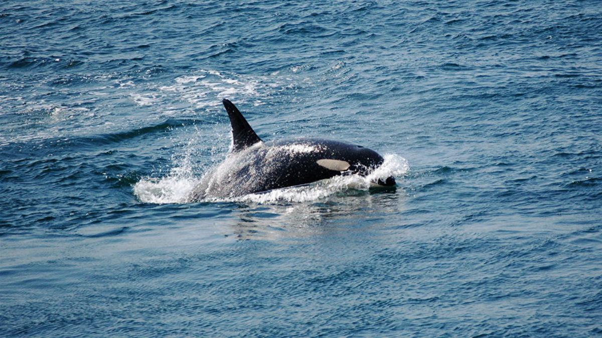 Las dos últimas orcas cautivas en Rusia regresan a su hábitat natural en el mar de Ojotsk