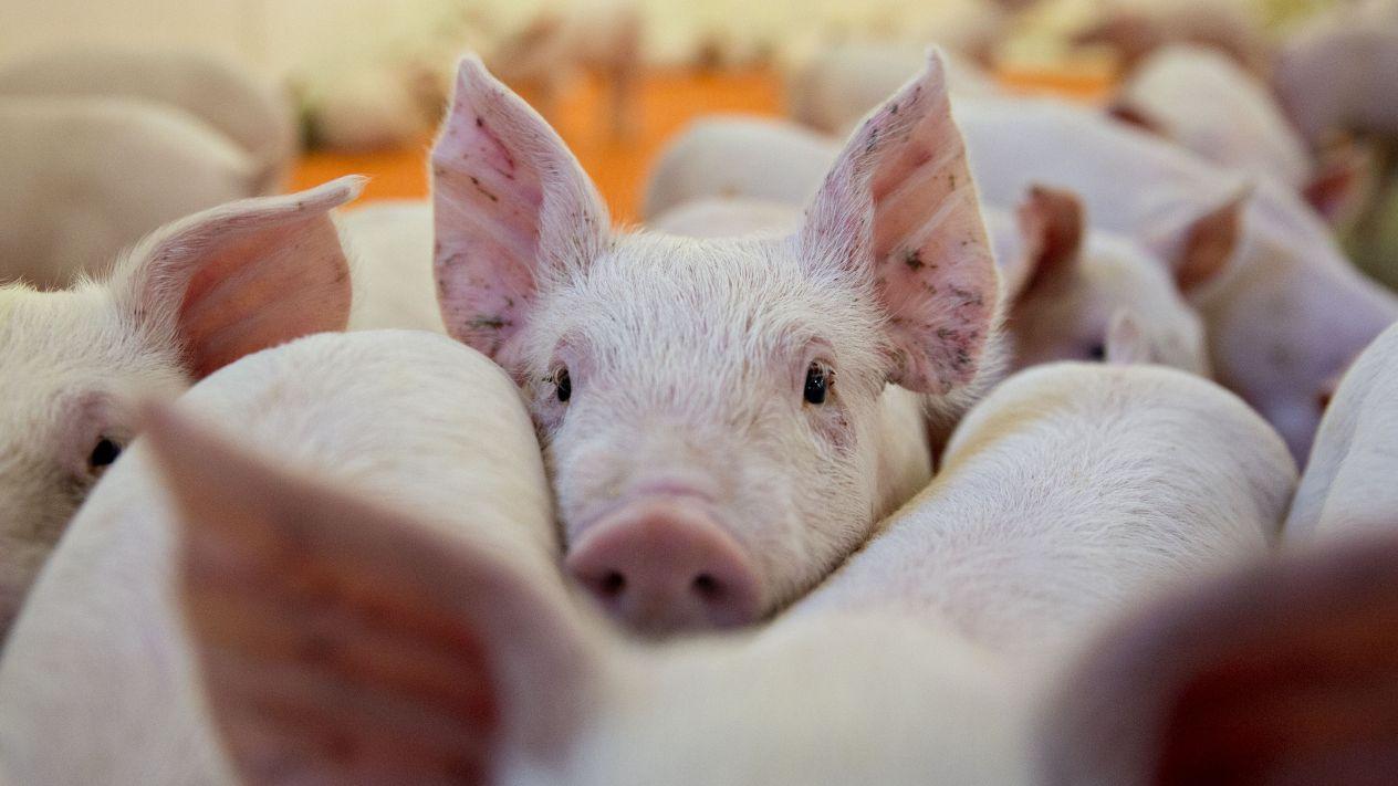Los trasplantes de corazón de cerdo a humano podrían ser una realidad en tres años