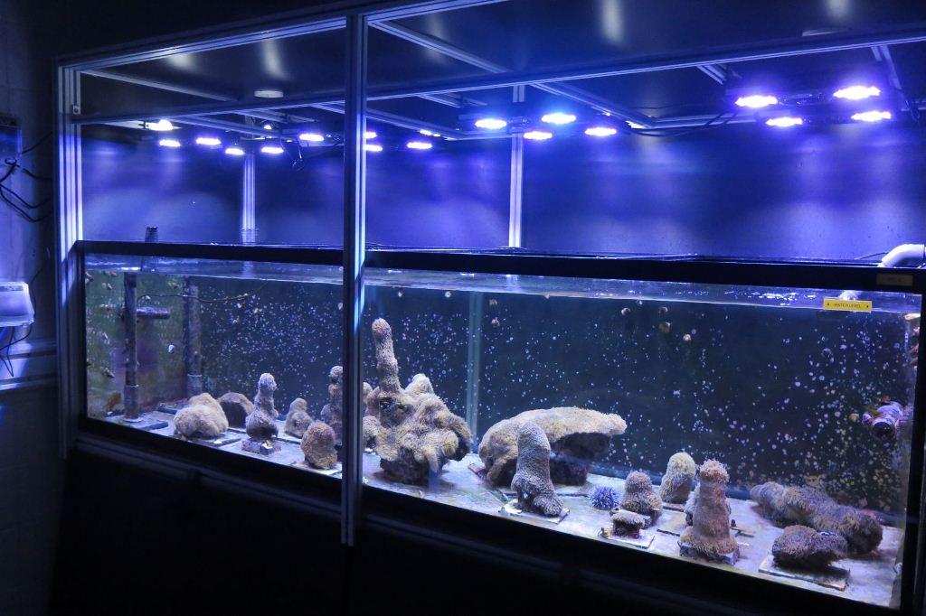 Coral cultivado en laboratorio: la esperanza que podría salvar a los arrecifes del Atlántico