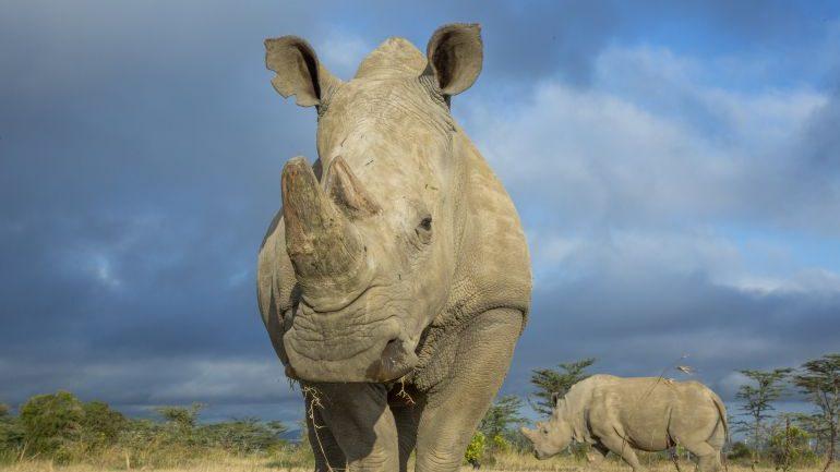 Hallar rinoceronte hembra podría evitar extinción del rinoceronte blanco del norte