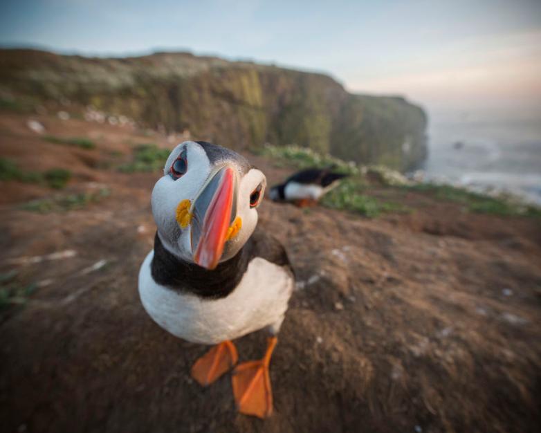 Cazadores británicos pagan más de 3.000 euros para poder cazar al frailecillo atlántico en Islandia
