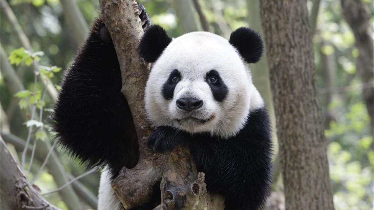 China creará una reserva natural de 27 mil km2 para el oso panda