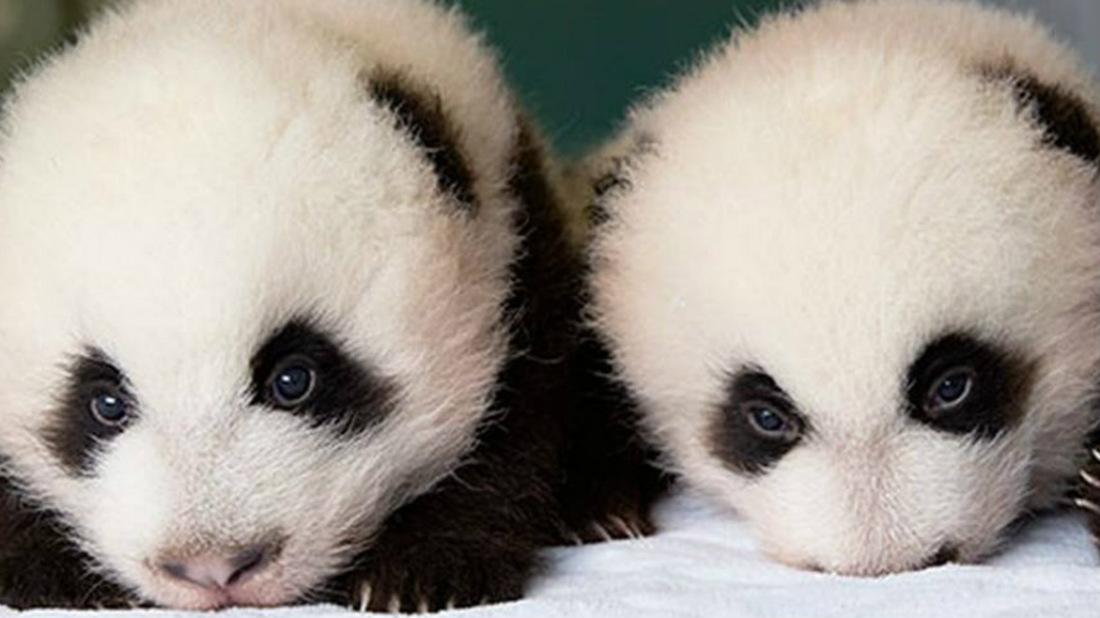 (Foto+ video) Conoce a los dos pandas gigantes gemelos que nacieron en un zoológico de Bélgica