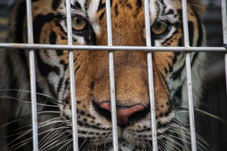 Cada semana al menos 2 tigres son traficados en el mundo