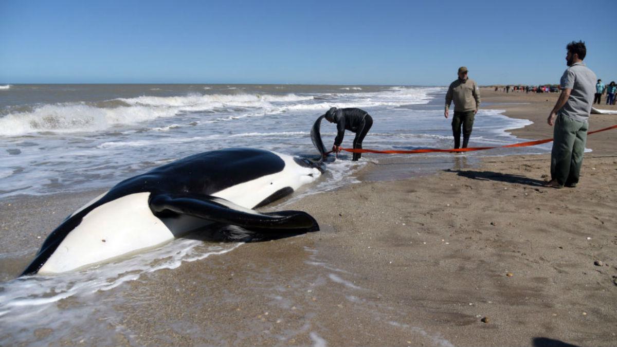 Prefectura y ambientalistas salvan a seis orcas encalladas en la costa de Argentina