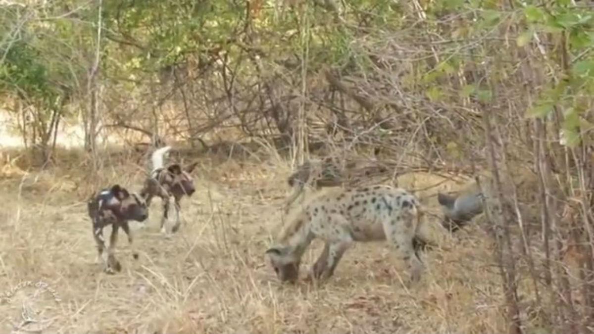 (Video) La ley de la necesidad: varias hienas roban una presa capturada por perros salvajes