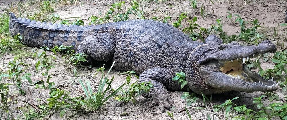 Descubren en Nueva Guinea una especie de cocodrilo gigante de 3 metros