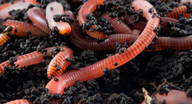 Comprueban que los microplásticos atrofian el crecimiento de los gusanos