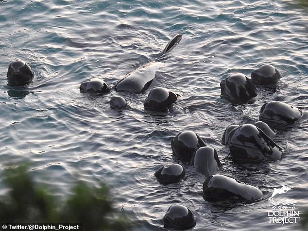 Un grupo de delfines busca consuelo antes de ser sacrificados