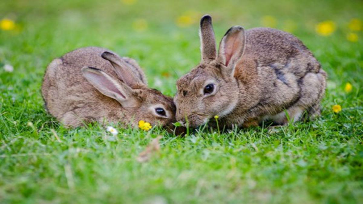 (Video) Una activista vegana libera 16 conejos y granjeros le disparan