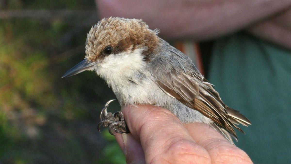 El huracán Dorian podría haber ocasionado la extinción de tres aves endémicas de las Bahamas