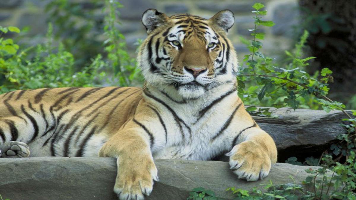 La reducción de la población del jabalí pone en peligro al tigre del Amur