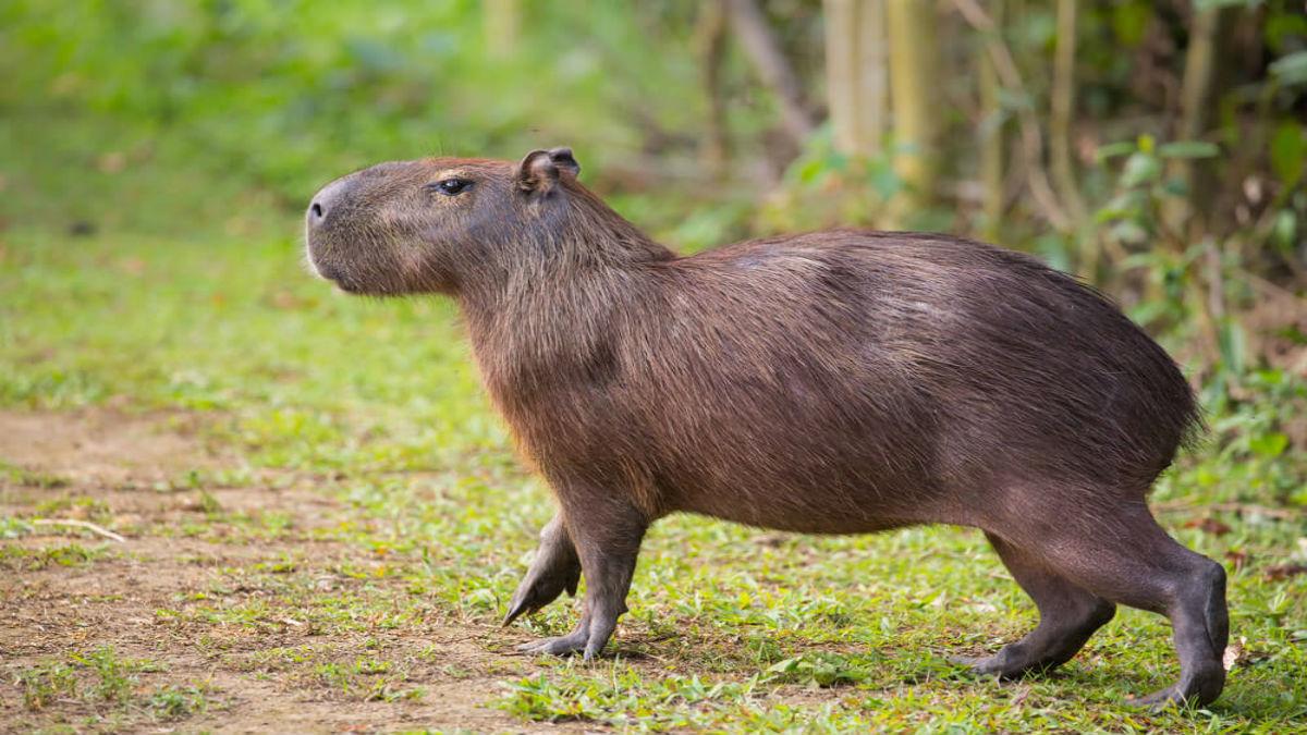 Multan con 160.000 euros a una aerolínea por la muerte de varios capibaras en la bodega de un avión