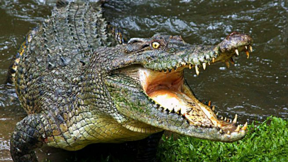 (Foto) Un cocodrilo lleva tres años con una llanta atrapada en el cuello en Indonesia