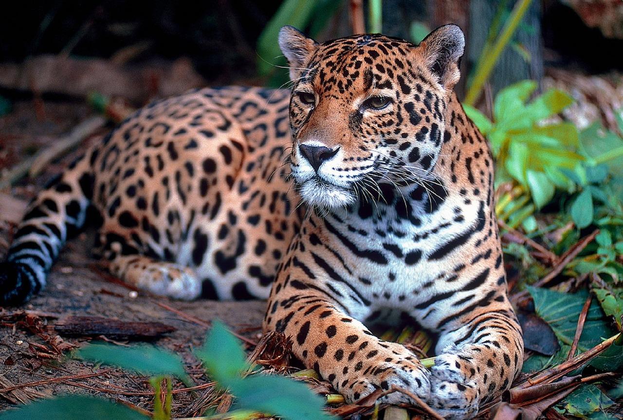 Latinoamérica define acciones para proteger el jaguar