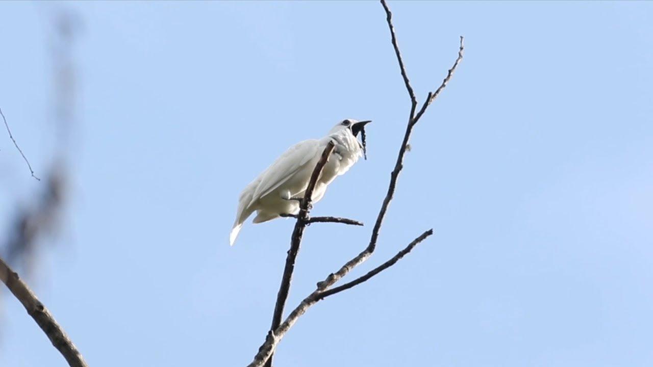 (Video) Así es el canto del pájaro más ruidoso del mundo