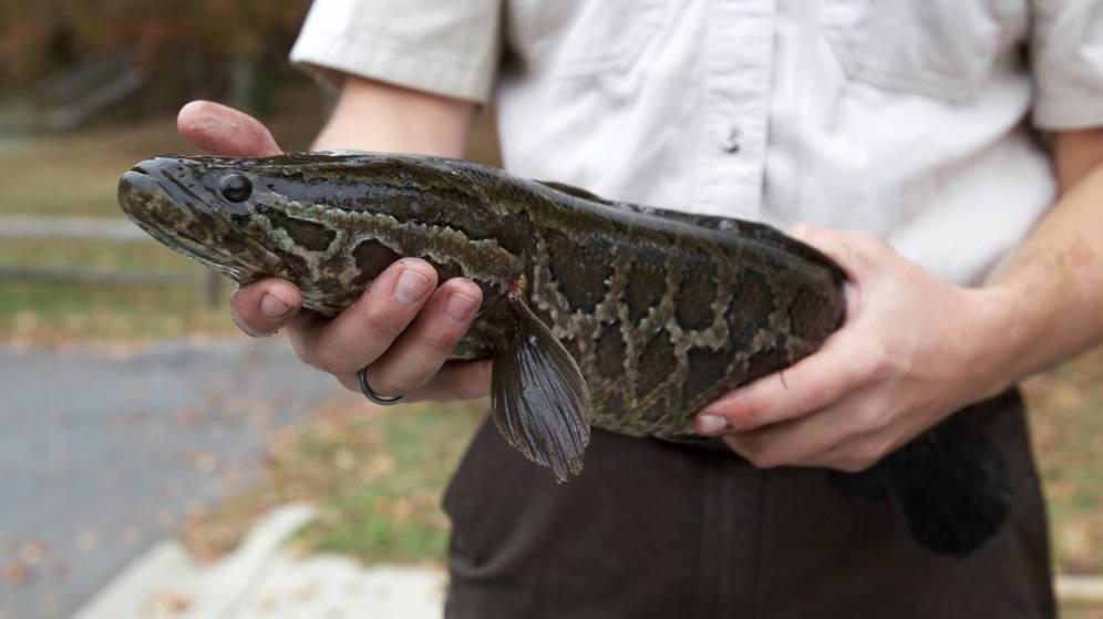 Un peligroso y agresivo pez cabeza de serpiente invade las aguas de EE.UU.