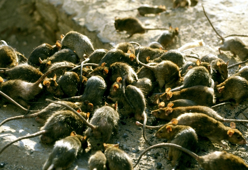 El drama de Roma, una ciudad llena de Basura e invadida por ratas y cucarachas