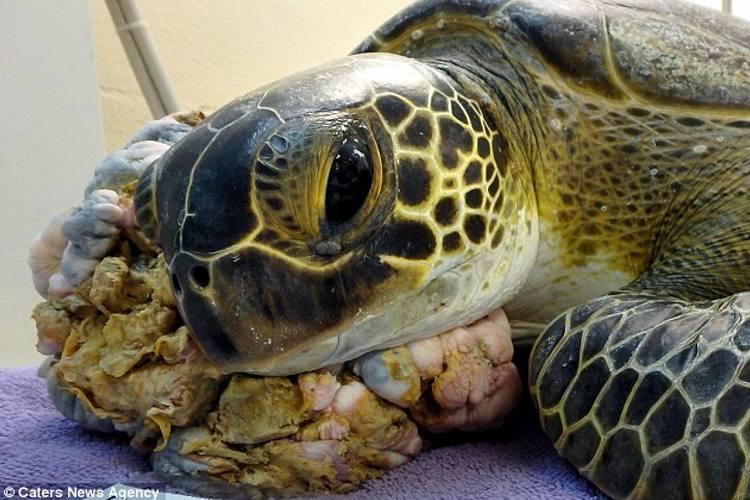 Contaminación por metales pesados está causando tumores en tortugas marinas